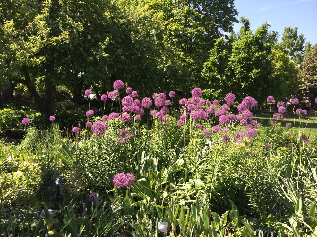 alliums at botanical gardens